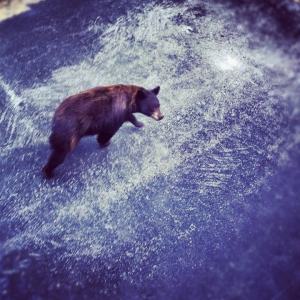 Yellowstone wildlife at Moonlight Basin Resort in Big Sky, Montana(Home of The Biggest Skiing In America)