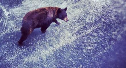 Yellowstone wildlife at Moonlight Basin Resort in Big Sky, Montana(Home of The Biggest Skiing In America)